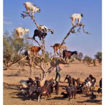 20 Koze na drvetu